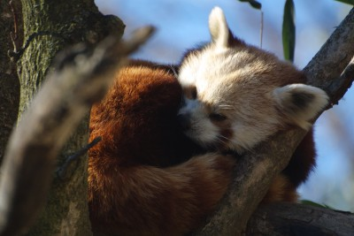 Red Panda curled up in tree