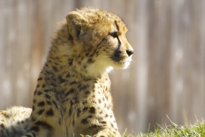 Adolescent Cheetah — minor fixes in iPhoto